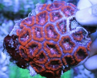 Акантастрея красная разводная- Acanthastrea sp red